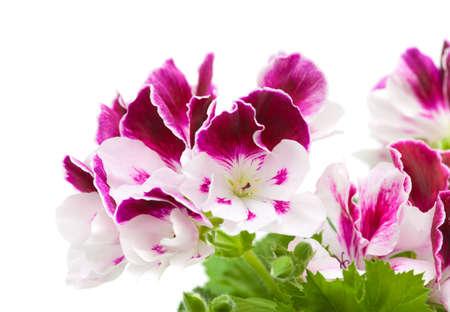 flowering pelargonium plant isolated on white photo