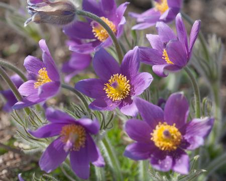 pulsatilla flowering
