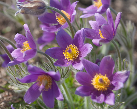 pulsatilla flowering
