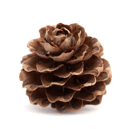 japanese larch cone isolated on white photo