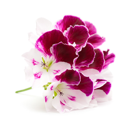 flowering variegated pelargonium isolated on white photo