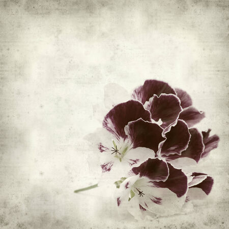 textured old paper background with Pelargonium photo