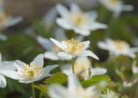 anemone nemorosa flowering photo