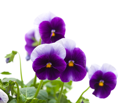 pansy plants isolated on white background photo