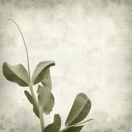 textured old paper background with garden pea shoots photo