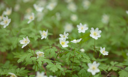 anemone nemorosa in bloom natural background photo