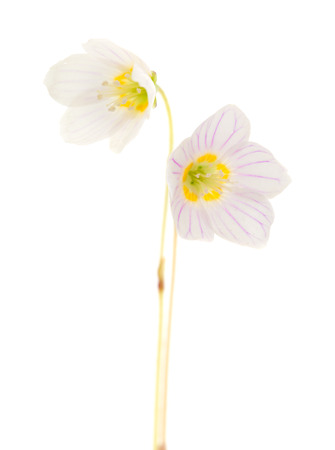 common wood sorrel flowers macro photo