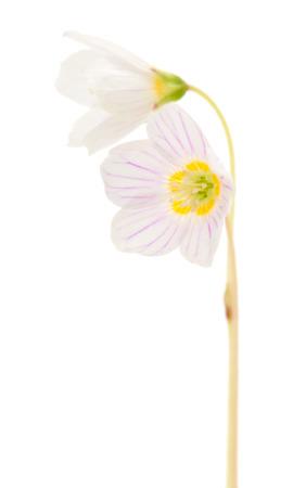 woodsorrel: common wood sorrel flowers macro