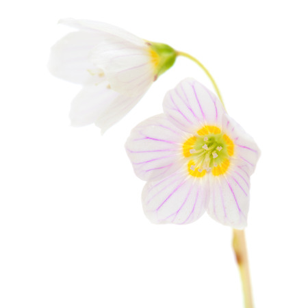 wood sorrel: madera com�n flores acedera macro