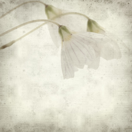 acetosella: textured old paper background with common wood sorrel Stock Photo