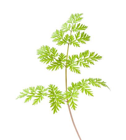 subdivided: wild parsley leaf isolated on white