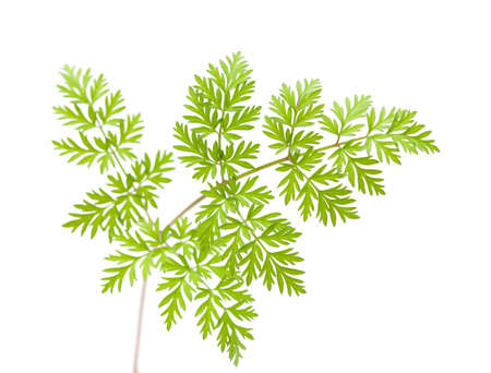 subdivided: wild parsley leaf isolated on white