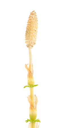 Strobilus of a horsetail plant isolated on white photo