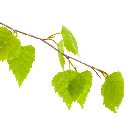 silver birch young leaves isolated Standard-Bild
