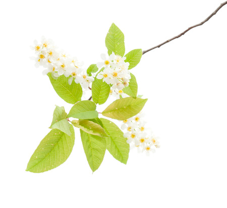 bird cherry flowers isolated on white photo