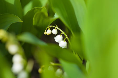 muguet: lily of the valley natural backgrond