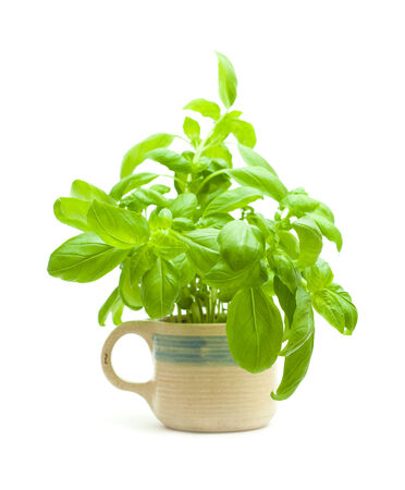 young basil plants in a mug, isolated on white photo