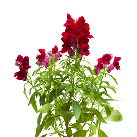 snapdragon: dark red garden snapdragon isolated on white Stock Photo