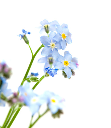 forget me not isolated on white photo