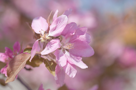 crabapple: crabapple flowers natural background Stock Photo