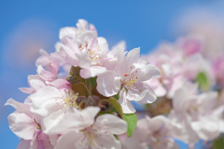 crabapple flowers natural background photo