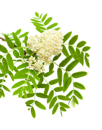 rowan flowers isolated on white photo