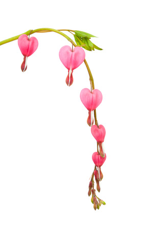 Bleeding heart flowers isolated on white photo