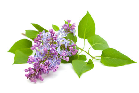 common lilac branch isolated on white photo