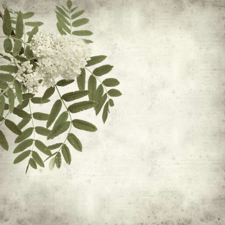 textured old paper background with rowan flowers photo