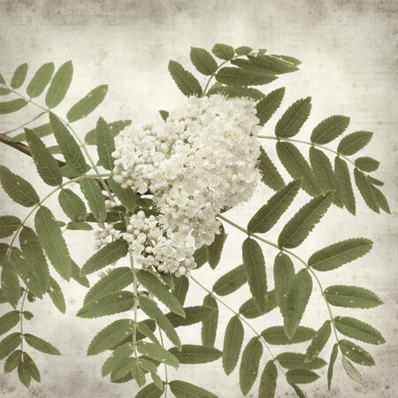 sorbus: textured old paper background with rowan flowers Stock Photo