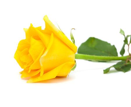 yellow rose isolated on white photo