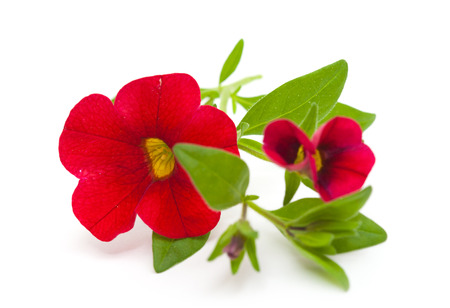 red petunia flower isolated on white Stock Photo