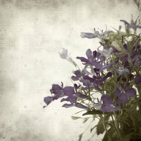 lobelia: textured old paper background with blue lobelia flower
