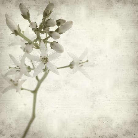 textured old paper background with wjite bogbean flower photo