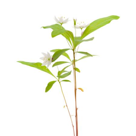Arctic starflower isolated on white