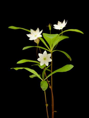chickweed: Arctic starflower isolated on black