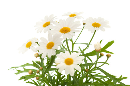 white daisy: marguerite daisy isolated on white