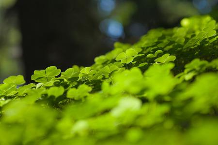 false shamrock: bright sunlit woodsorrel leaves natural background