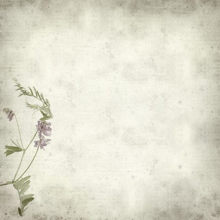 dry cow: textured old paper background with purple vetch flower