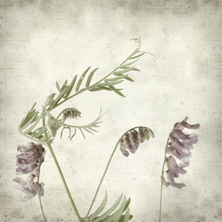 cow pea: textured old paper background with purple vetch flower