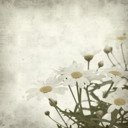 textured old paper background with marguerite daisy photo