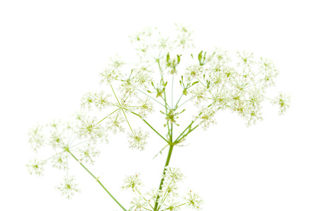 branching: Cow parsley isolated on white background