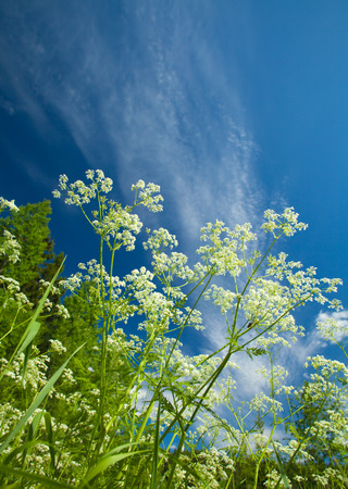 branching: summer natural sunny  background with cow parsley