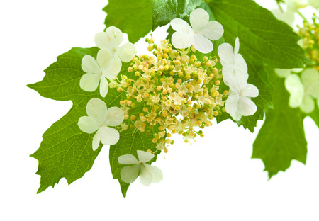 hermaphrodite: guelder rose flowers isolated on white