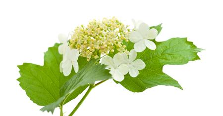 guelder: guelder rose flowers isolated on white
