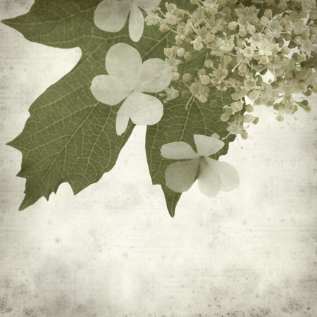 guelder rose: textured old paper background