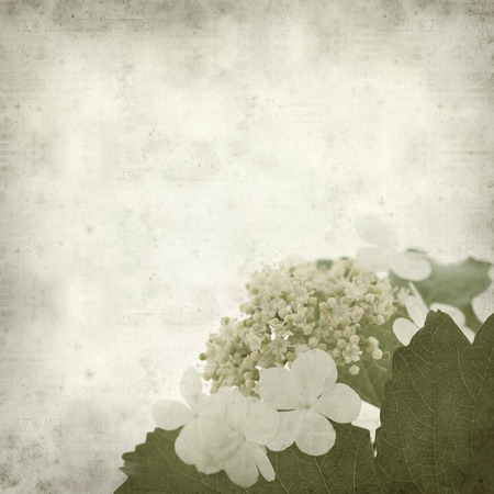 guelder: textured old paper background with guelder rose Stock Photo