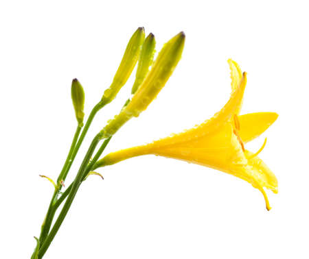 yellow daylily with water drops isolated on white photo