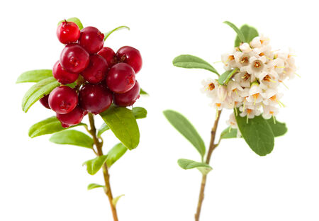 Vaccinium vitis-idaea,lingonberry branches with flowers, berries and leaves isolated photo
