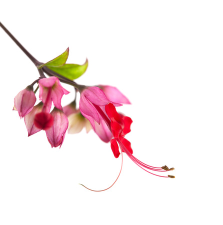 Clerodendrum thomsoniae flower isolated on white photo